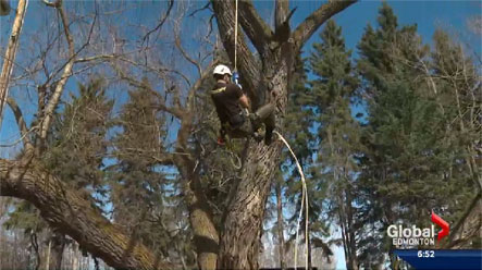 Global Edmonton News Feature & Canopy Tree Care | Edmonton St. Albert Sherwood Park Tree Service